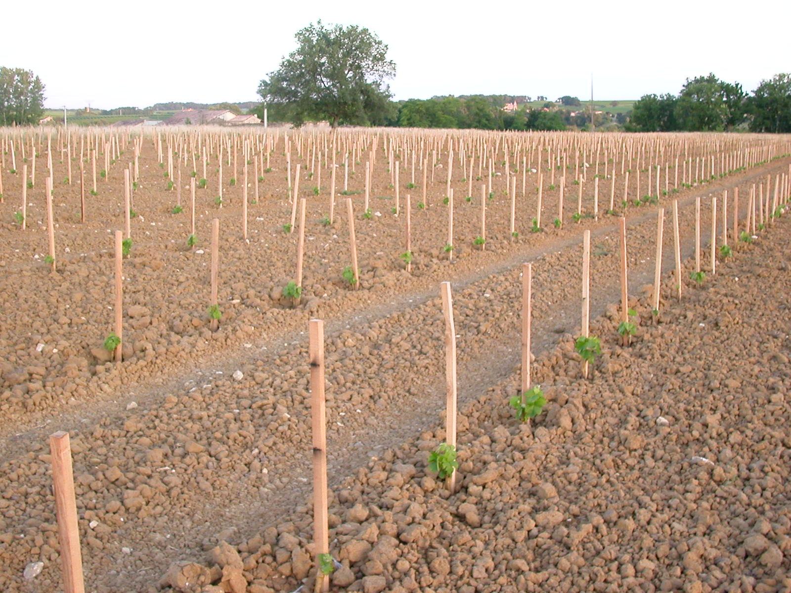 Plantation, plant de vigne, plantation machine, plantation manuelle